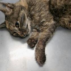THW-Helfer finden verletzte, kranke Katze mit ungewöhnlicher Tätowierung