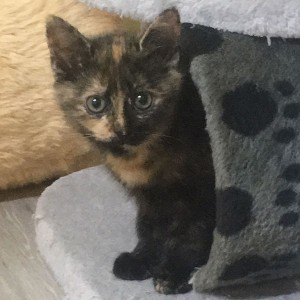 Kätzchen Minou
