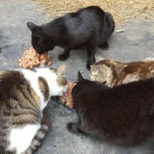 Fütterung der Stallkatzen